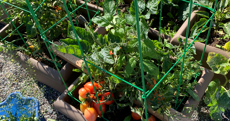 School Garden Fall 2020 - Got tomatoes?